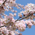 Cherry blossoms pantone colors of the year